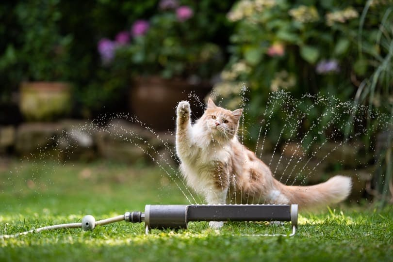 cream tabby ginger maine coon cat playing with lawn_Nils Jacobi_shutterstock