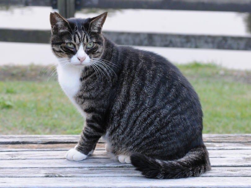dark mackerel tabby cat