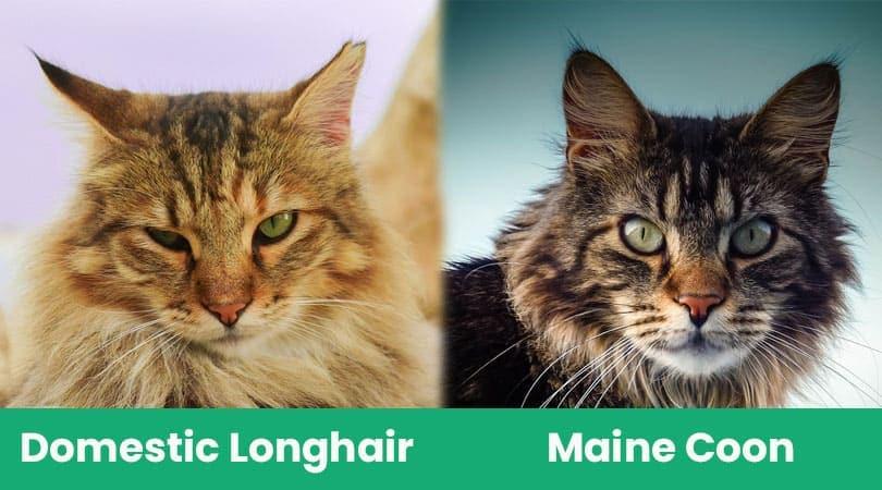 domestic longhair vs maine coon