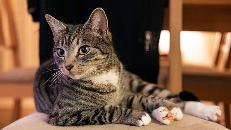 domestic mackerel tabby cat lying on a chair
