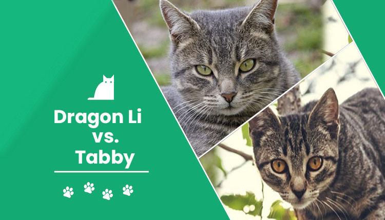 dragon li vs tabby