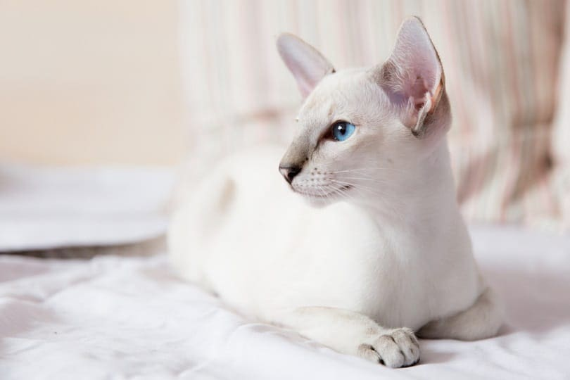 female of Lilac point Siamese cat_tovsla_shutterstock