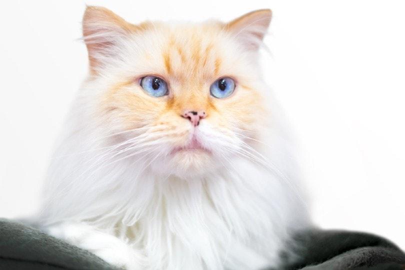 wajah kucing himalaya titik api