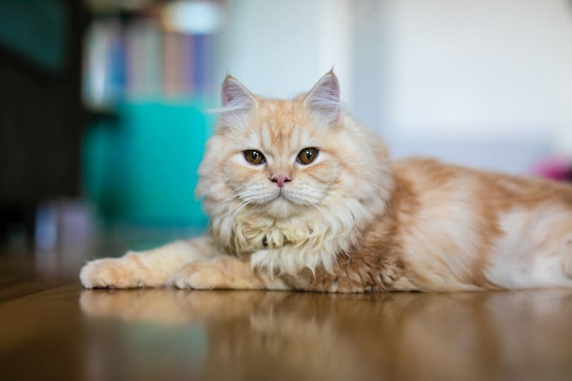 ginger doll face persian cat lying on the floor