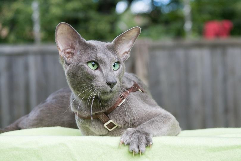 grey oriental shorthair cat