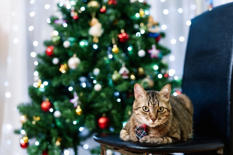 homemade gray tabby cat in a plaid tie with a Christmas tree_nadtochiy_shutterstock