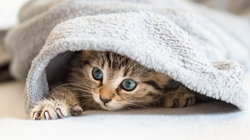 kitten playing under a blanket_Julia Naether_shutterstock