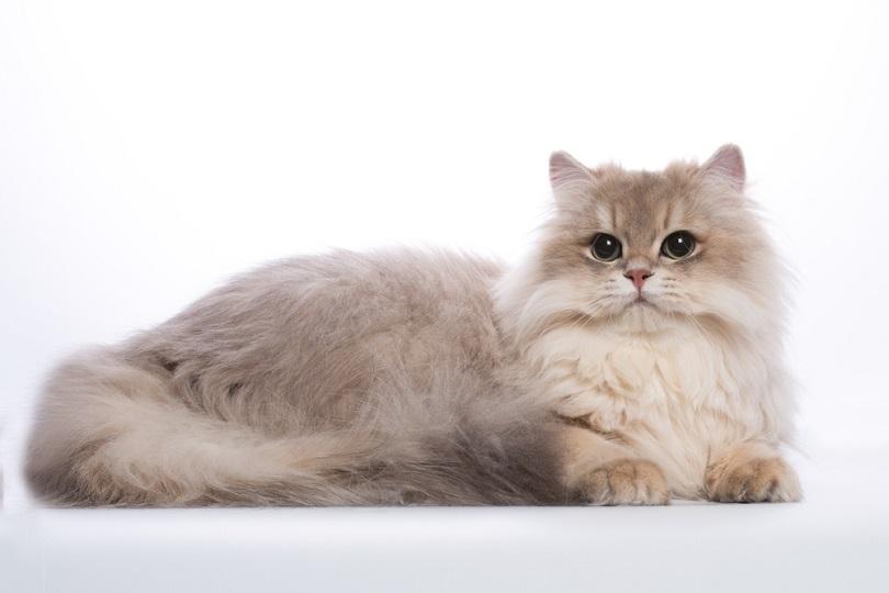 kucing bulu panjang chinchilla biru keemasan dengan mata hijau2_OksanaSusoeva_shutterstock