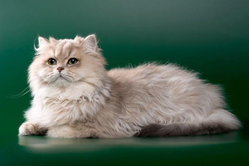 kucing bulu panjang chinchilla biru keemasan dengan mata hijau_OksanaSusoeva_shutterstock