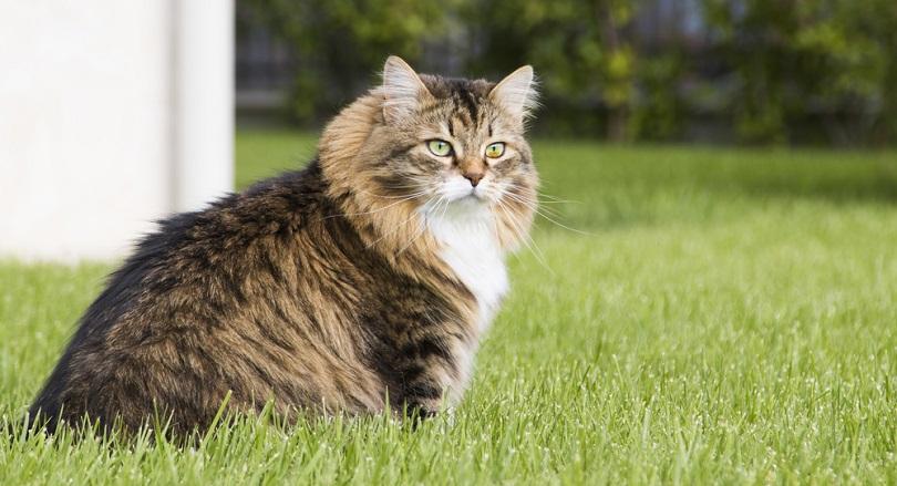 mackerel siberian tabby cat sitting on the grass