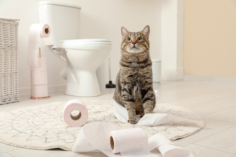 mackerel tabby cat playing with roll of toilet paper