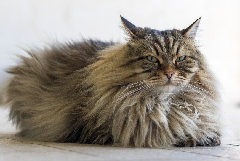 mackerel tabby cat relaxes on the floor