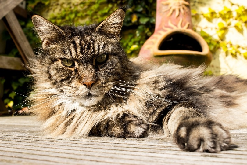 maine coon lying outdoors