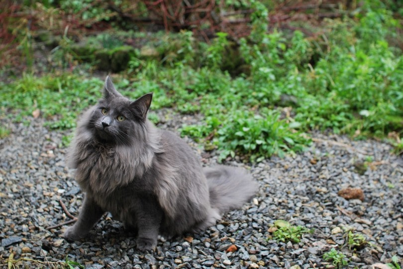norwegian forest cat outdoors