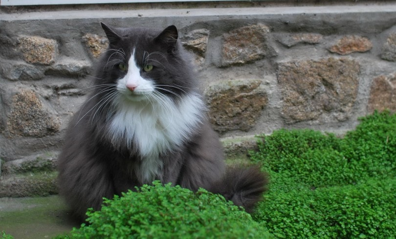 norwegian forest cat sitting outdoors