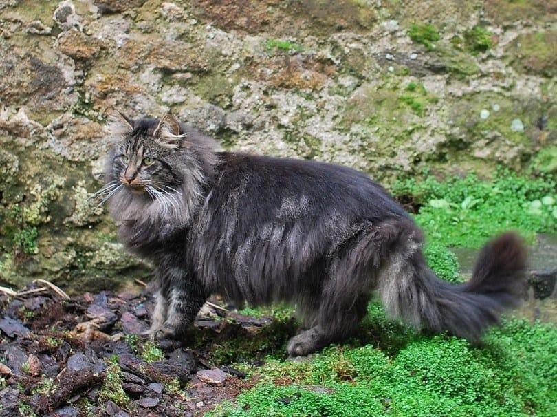 norwegian forest cat walking outdoors