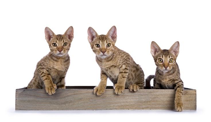 ocicat kittens