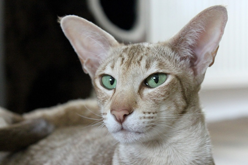 oriental shorthair cat closeup