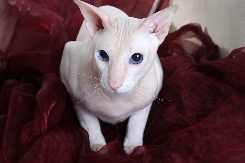 peterbald cat on the sofa