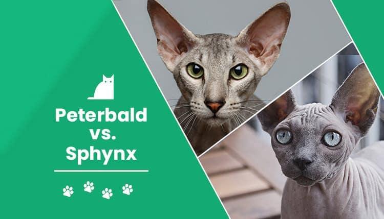 peterbald vs sphynx