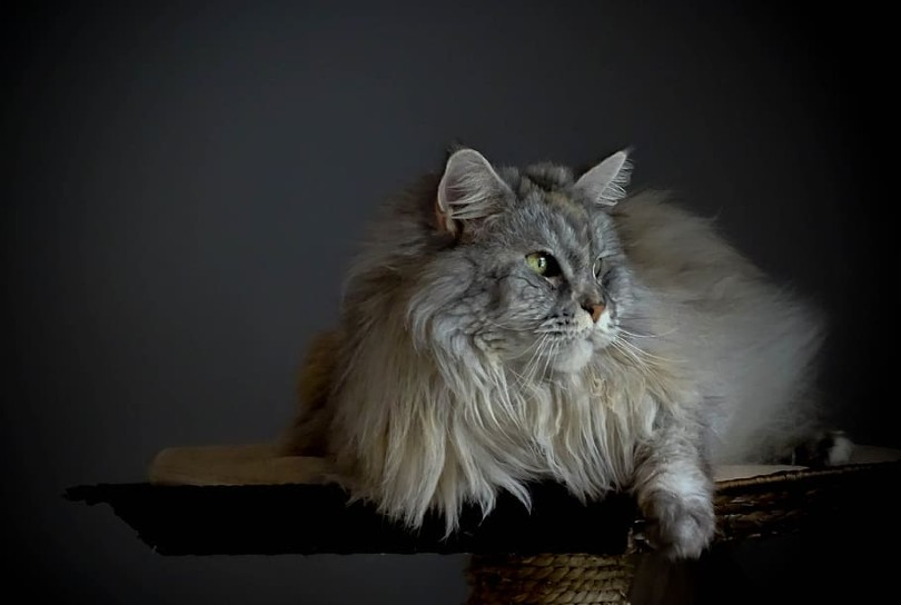 portrait of a silver maine coon cat