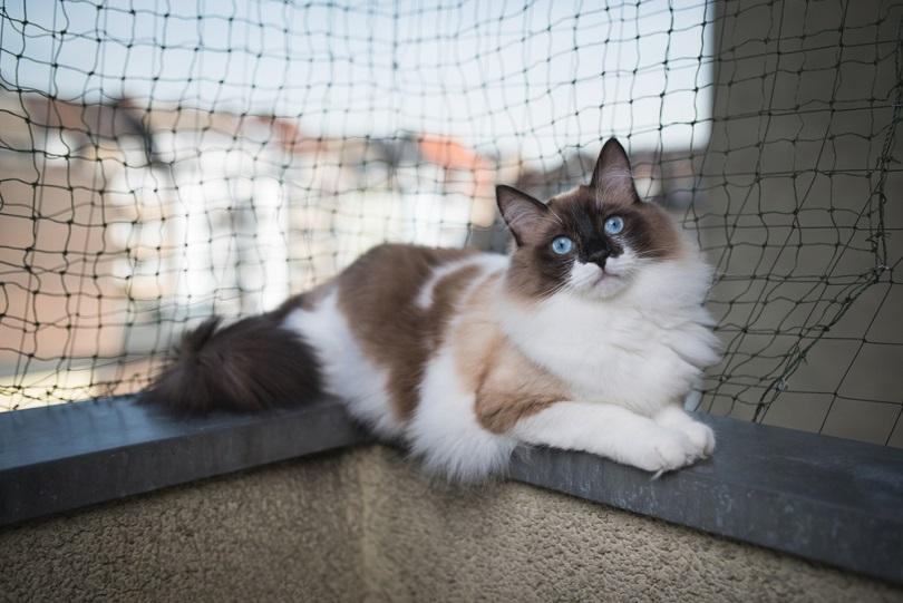 ragdoll cat lying on balcony corner egde