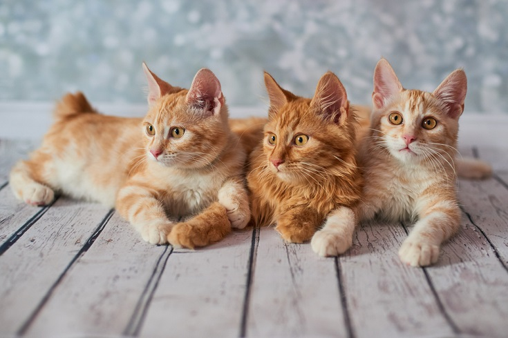 red american bobtail cats