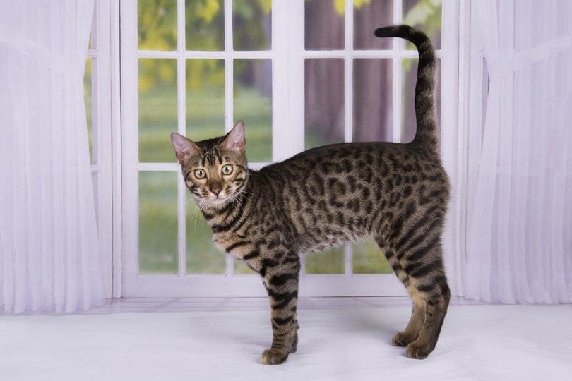 savannah cat standing by the window