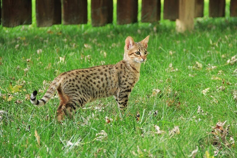 savannah kitten on green grass