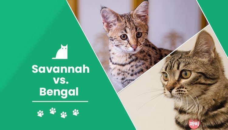 savannah vs bengal