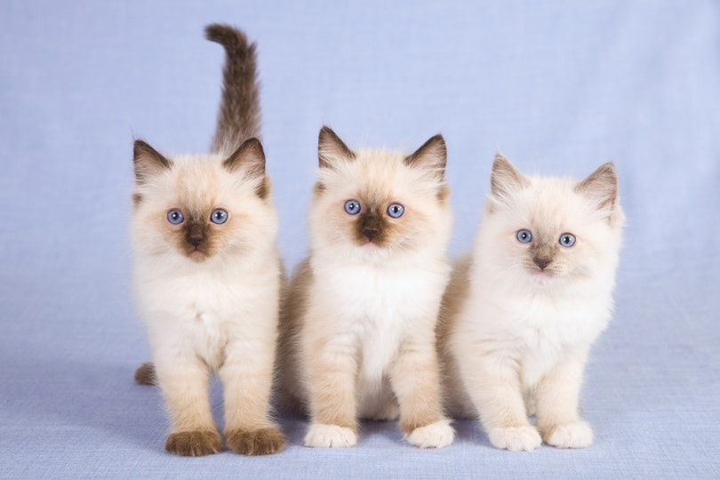 seal point ragdoll kittens on blue background