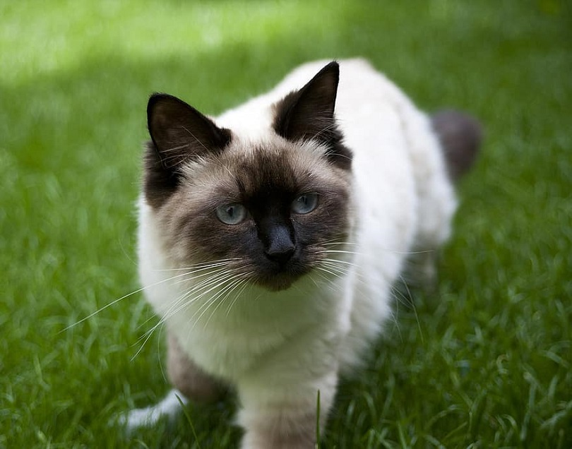 seal point ragdoll standing on grass