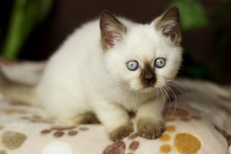 shorthair colorpoint kitten
