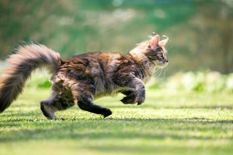 side view of a young playful maine coon cat