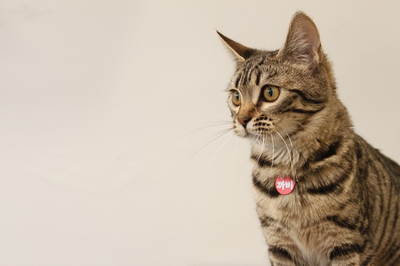 side view portrait of a bengal cat