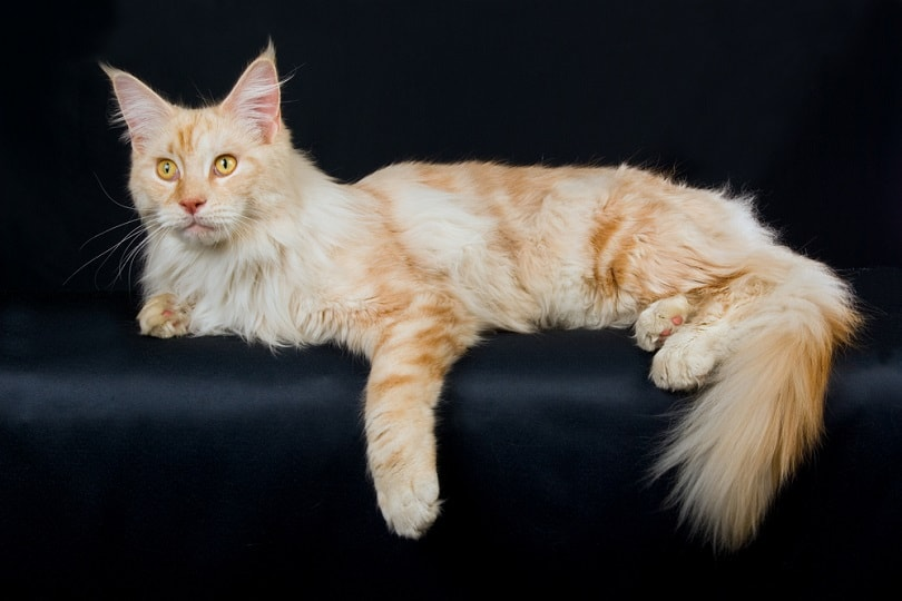 silver smoke red maine coon on black background