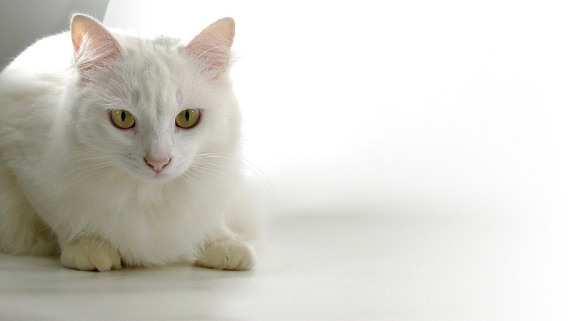 solid white persian
