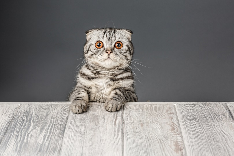 tabby cat shocked_Alexxndr_shutterstock