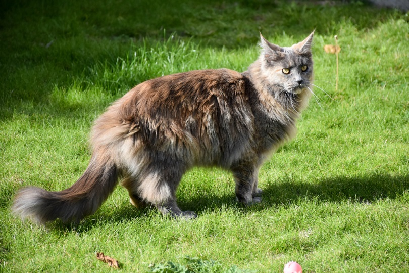 tortoiseshell blue smoke maine coon standing outdoors