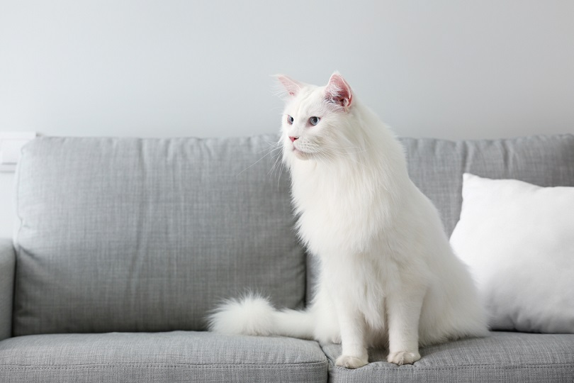 white Maine Coon cat at home
