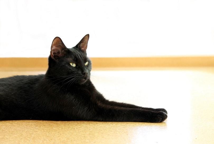 young black cat lies on a cork floor_wolfness72_shutterstock