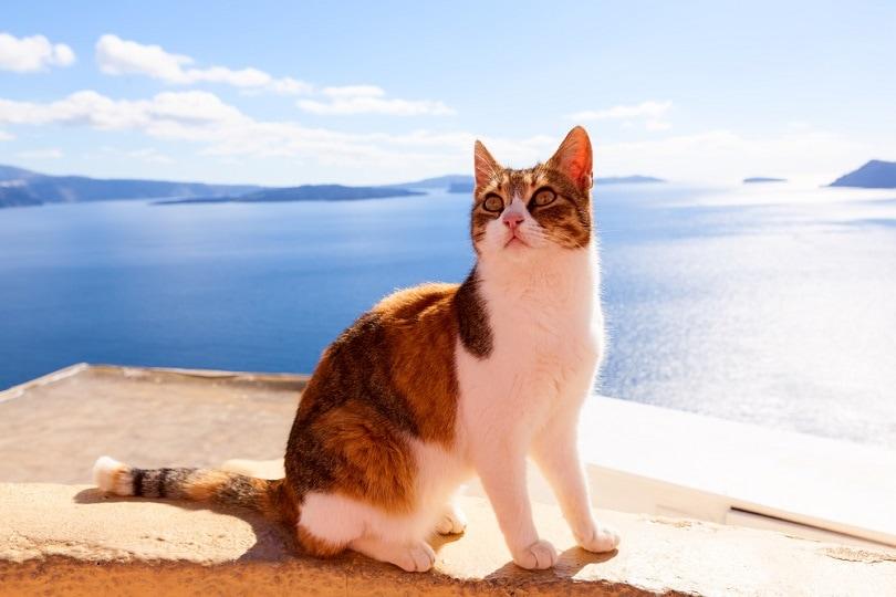 Aegean Cat_pinggr_shutterstock