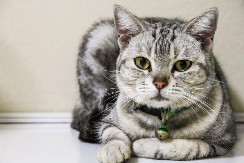American Short Hair tabby cat