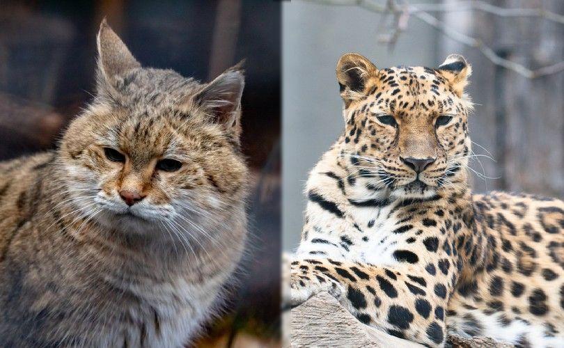 Amur forest cat and Amur leopard