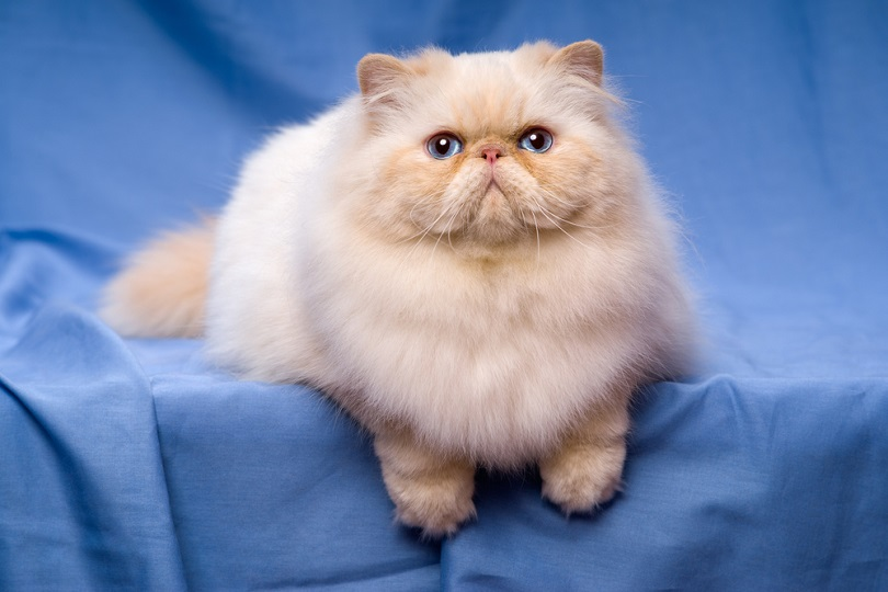 Beautiful persian cream colorpoint cat whith blue eyes_Dorottya Mathe_shutterstock