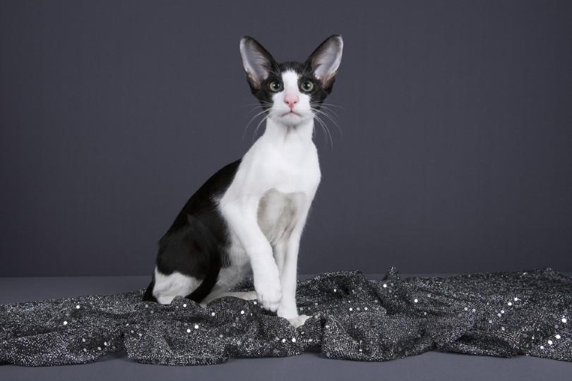 Bicolor Oriental Cat