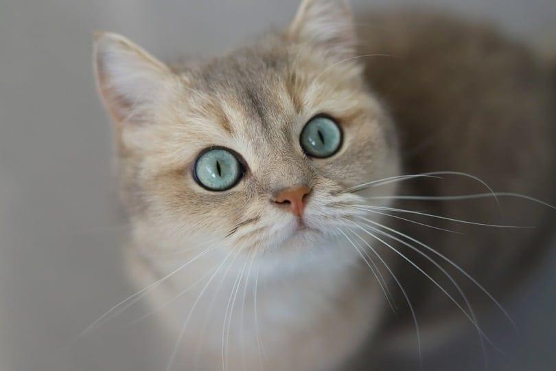 Blue golden shaded british shorthair cat with green eyes_Anna Azarenko_shutterstock