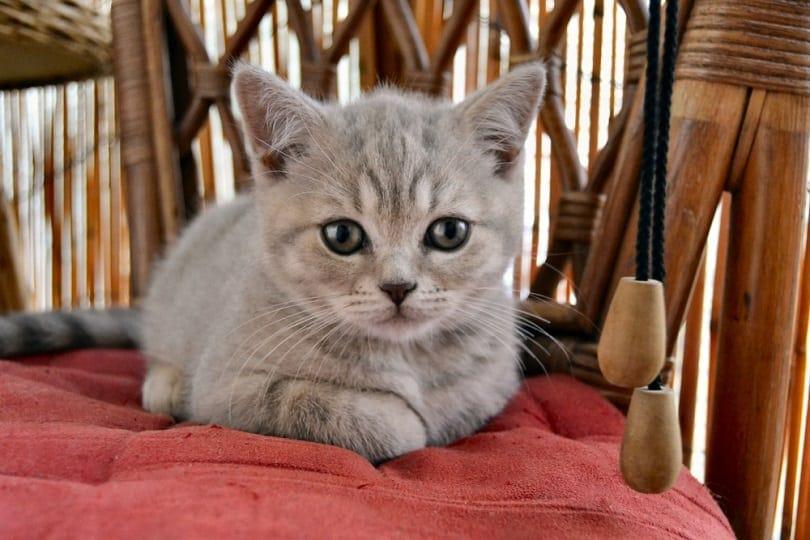 British Blue Lilac Kitten