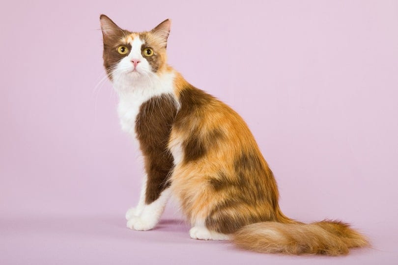 Chocolate Calico cat_Linn Currie_shutterstock