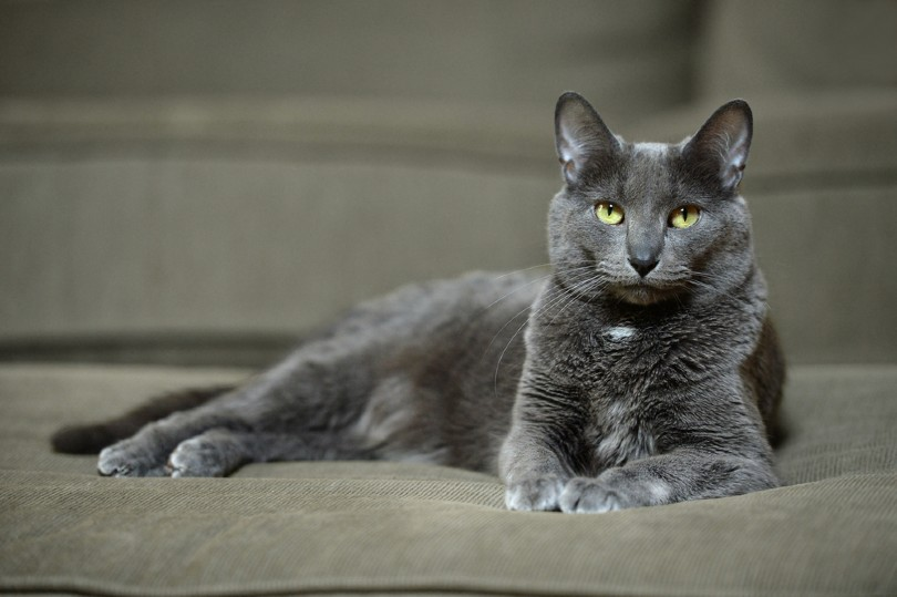 Domestic Korat cat laying on sofa